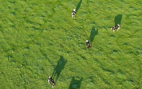 Koeien in Stegeren